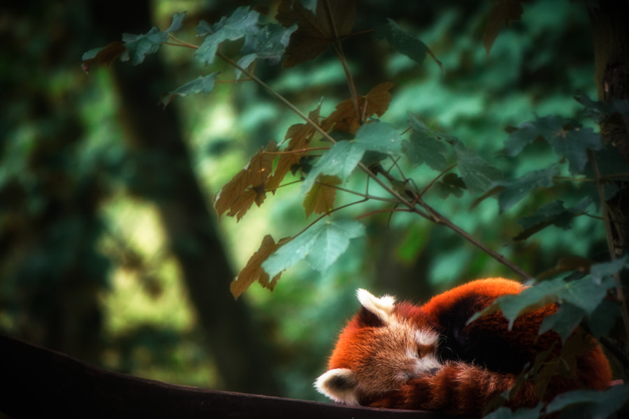 Photograph Sleep well little panda by Alexander Strauch on 500px