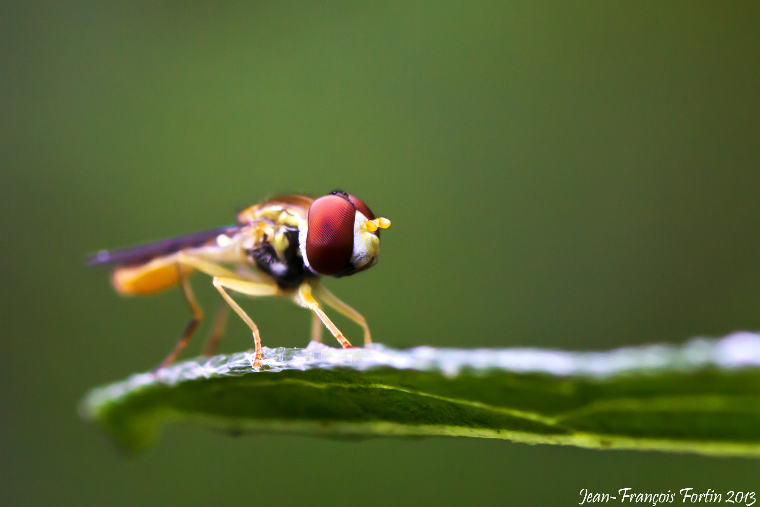 Photograph Yellow fly by Jean-François Fortin on 500px