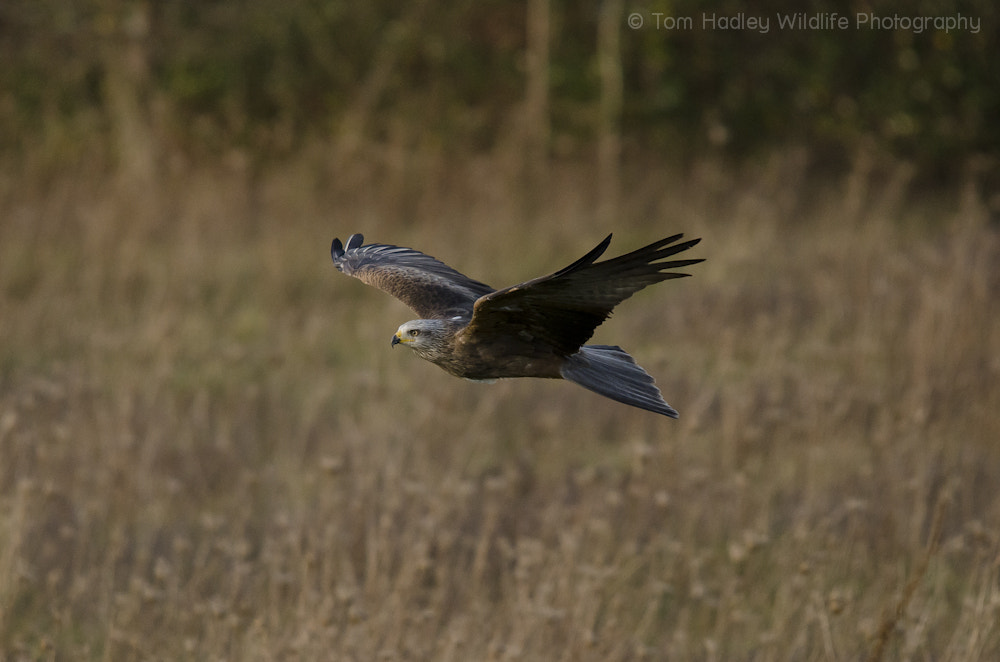 Photograph Black Kite by Tom Hadley on 500px