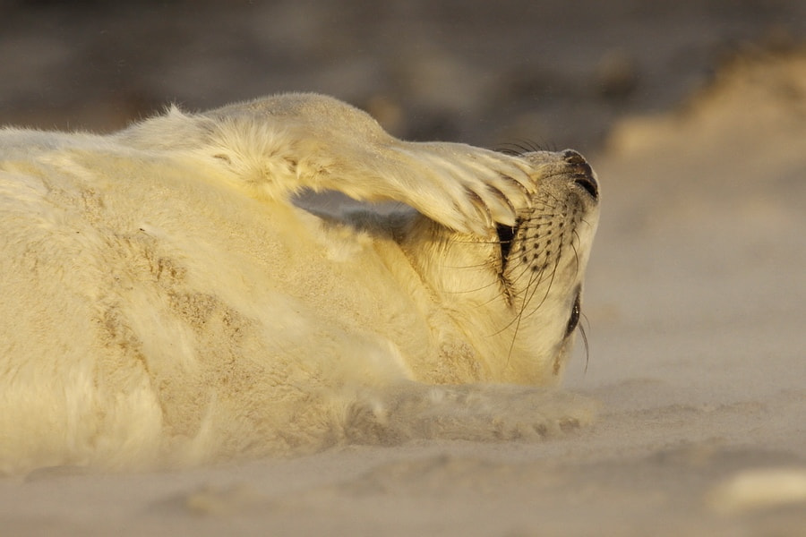 Photograph Grey seal pup by ColindavanderFlier on 500px