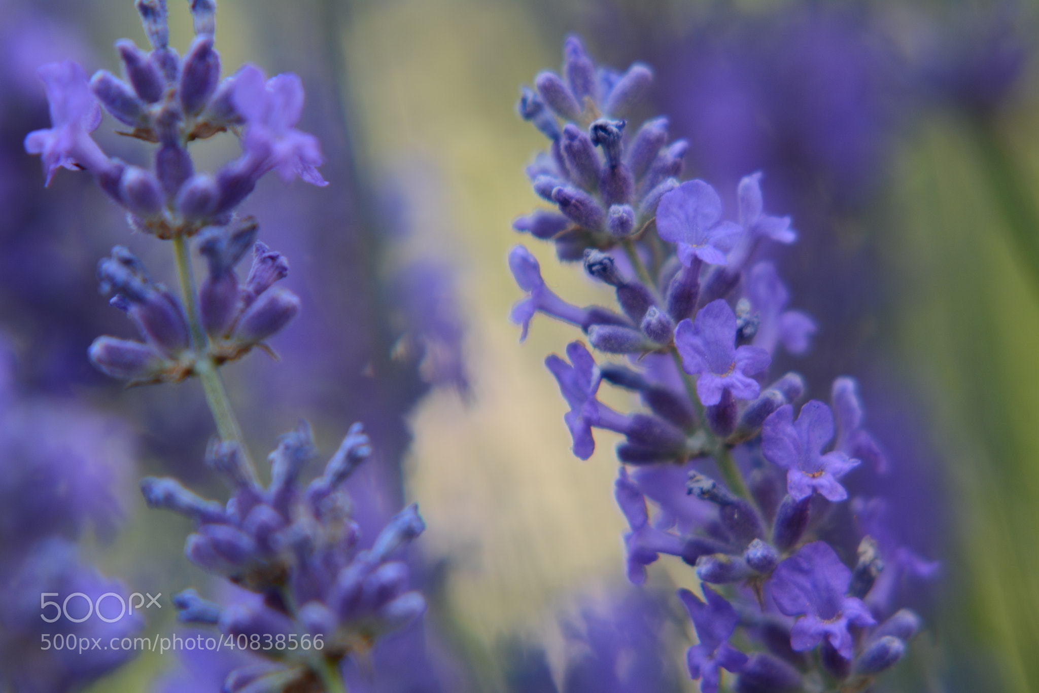 Photograph Lavender by Eng Yap on 500px