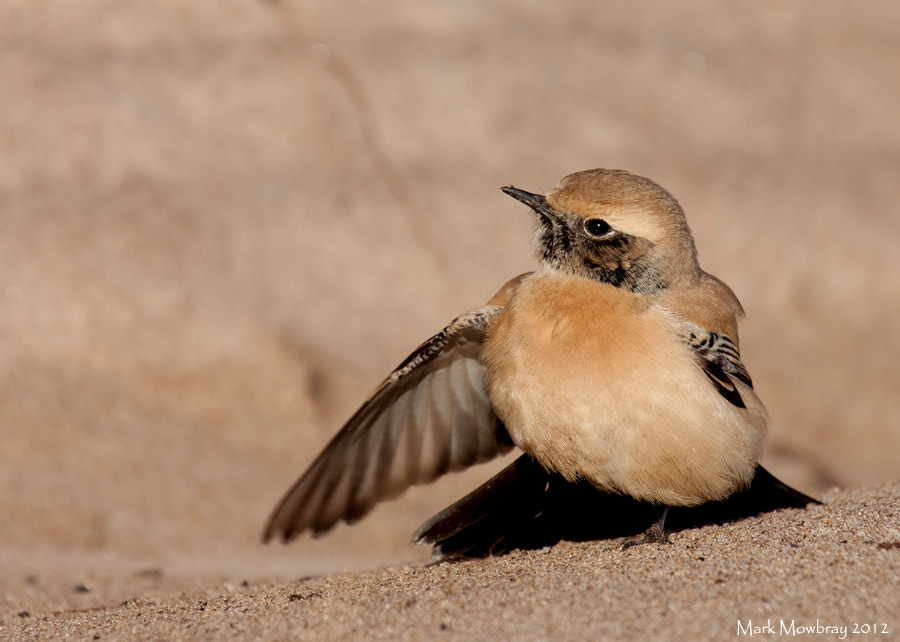 Photograph Desert Wheatear by Mark Mowbray on 500px