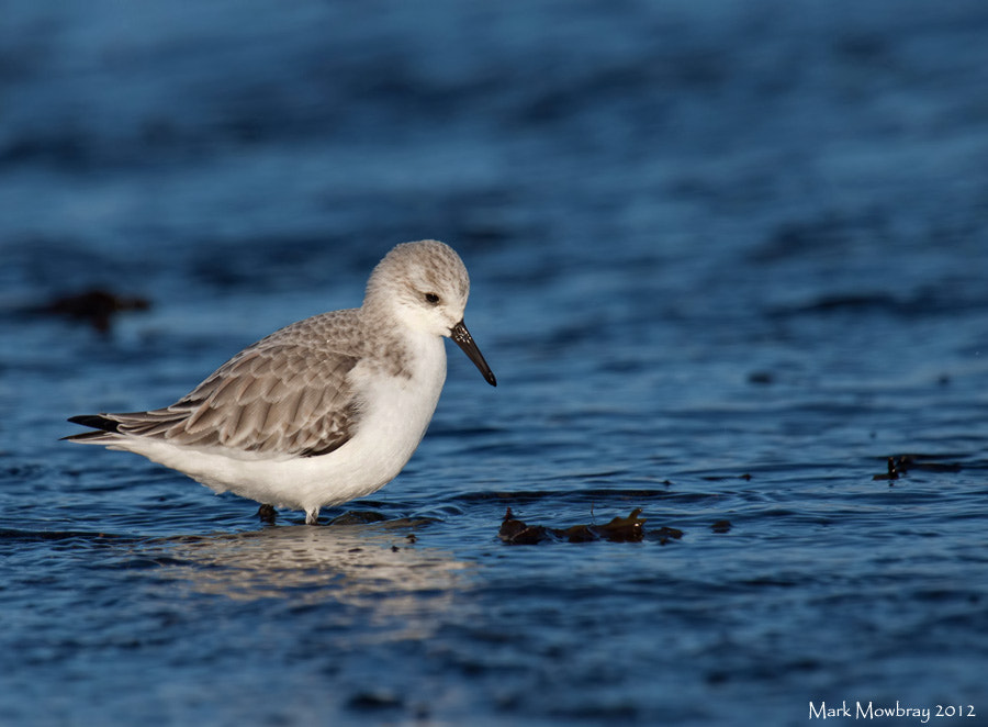 Photograph Sanderling by Mark Mowbray on 500px