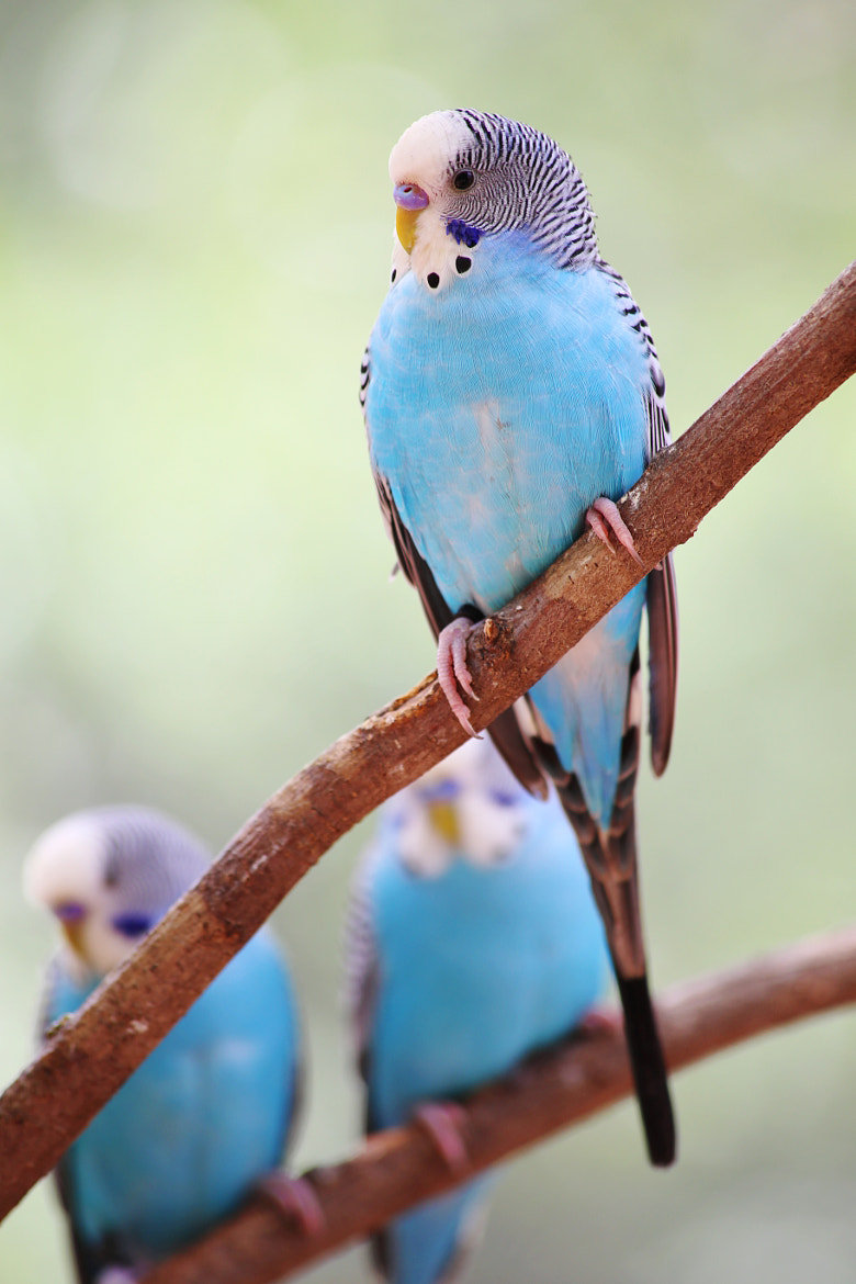 Photograph Birds Parakeets by Aric Jaye on 500px