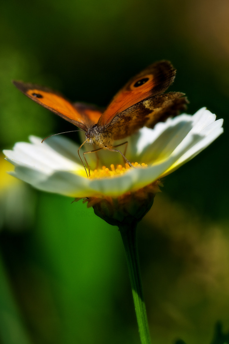 Photograph Butterfly by Ricardo  Alves on 500px