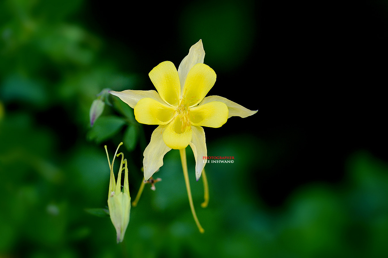 Photograph Yellow columbine by LEE INHWAN on 500px