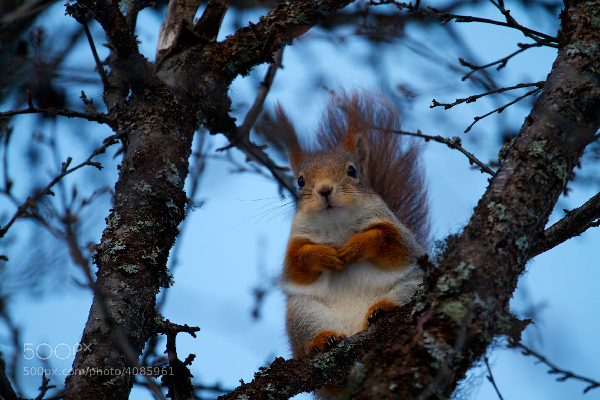 Photograph Chubby Squirrel by Christian Bedsvaag on 500px