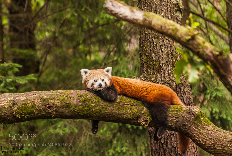 Photograph Red panda (Ailurus fulgens) by Dani Turnšek on 500px