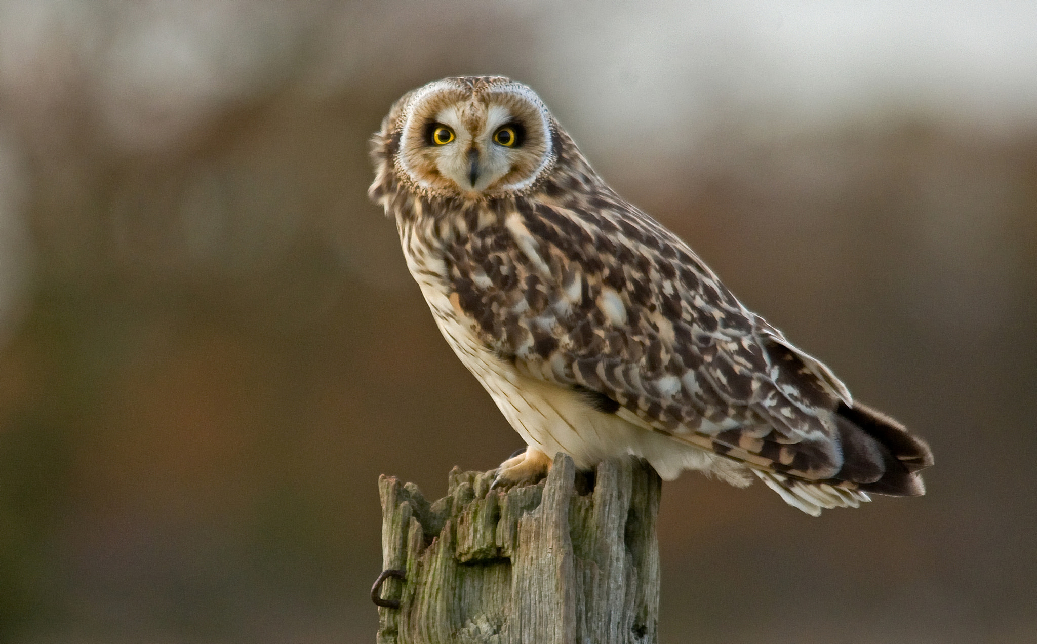Photograph Short Eared Owl by dc1500 on 500px