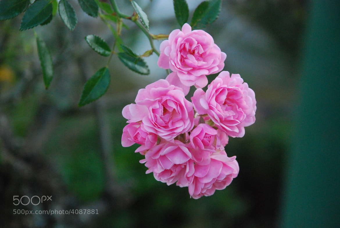 Photograph Pink Mini Rose by TheLittle GreenJacket on 500px
