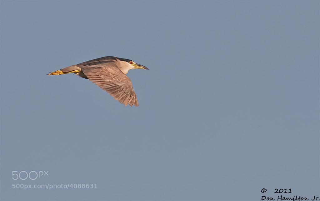Photograph Black -Crown Night heron by Don  Hamilton Jr. on 500px