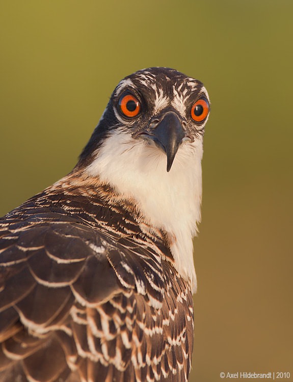 Photograph Osprey Stare Down by Axel Hildebrandt on 500px