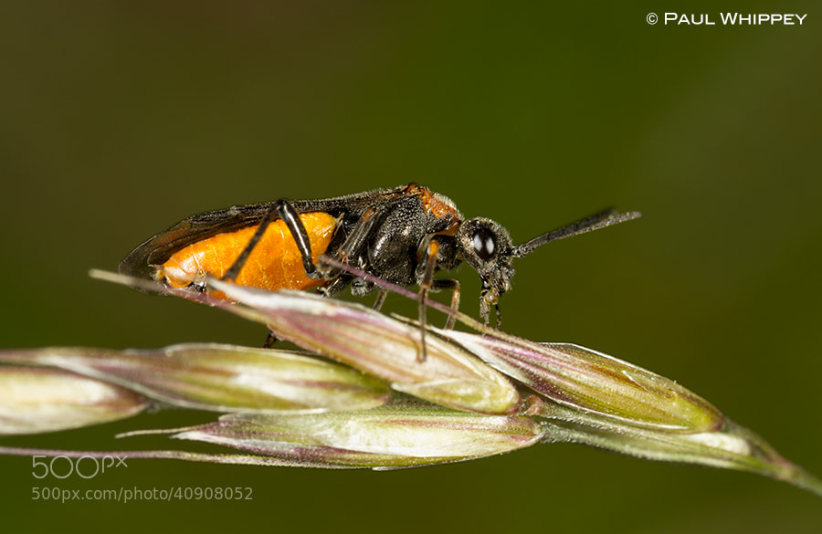 Photograph Sawfly by Paul Whippey on 500px
