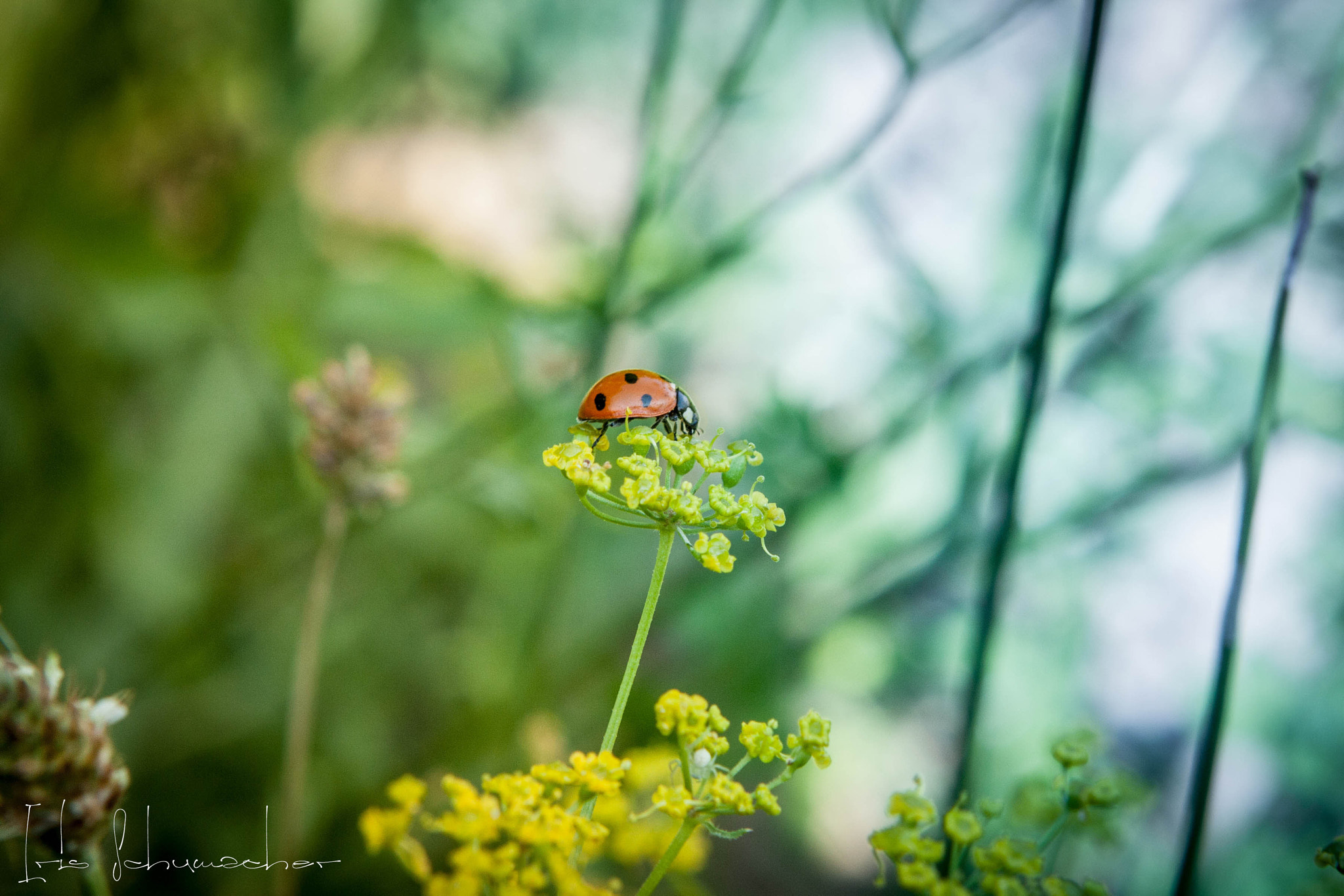 Photograph Ladybug by Iris Schumacher on 500px