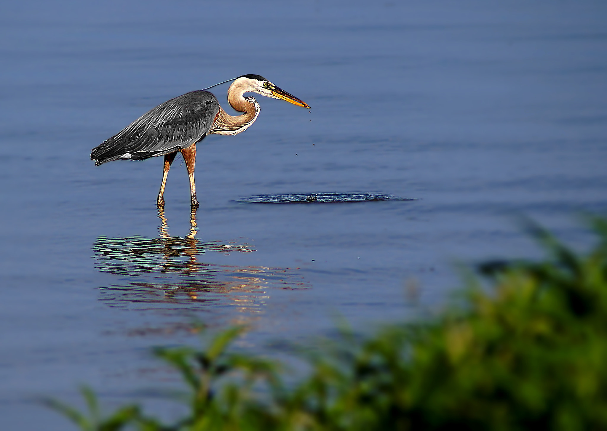 Photograph Great Blue Heron by Cherylorraine Smith on 500px