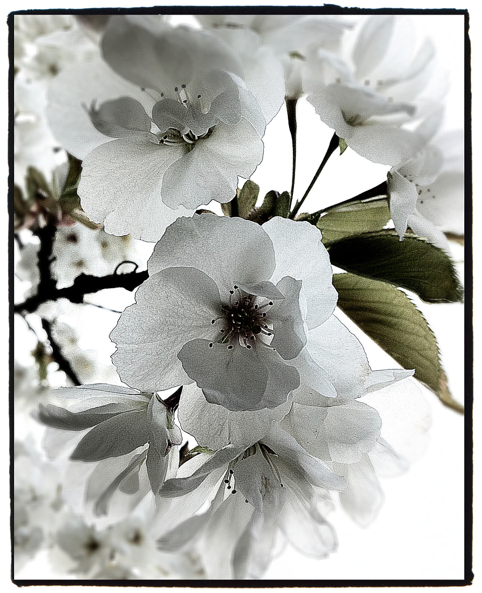 Photograph Cherry Blossoms by Gary Marshall on 500px