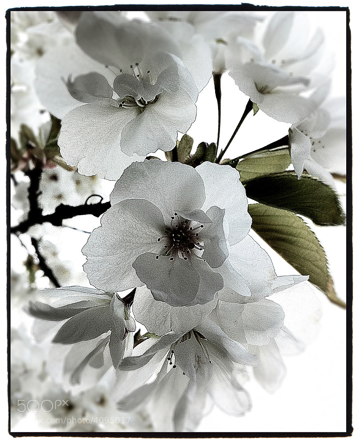 iPhone capture and editing of a blossoming cherry tree.