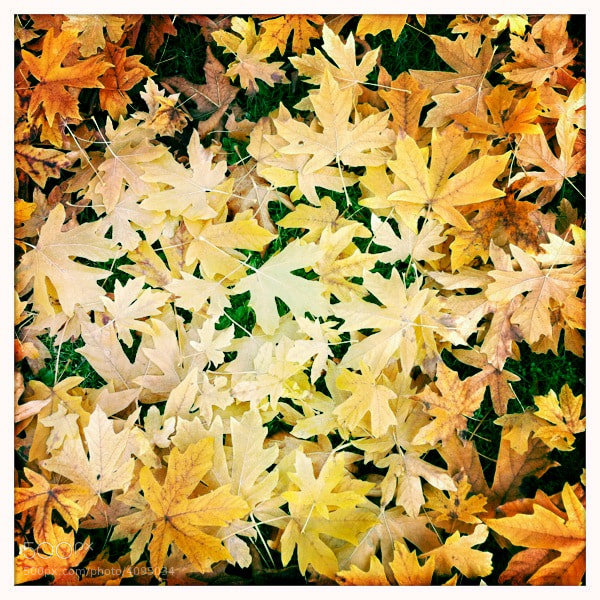 iPhone capture of the fall leaves covering the Washington Park Arboretum in Seattle.