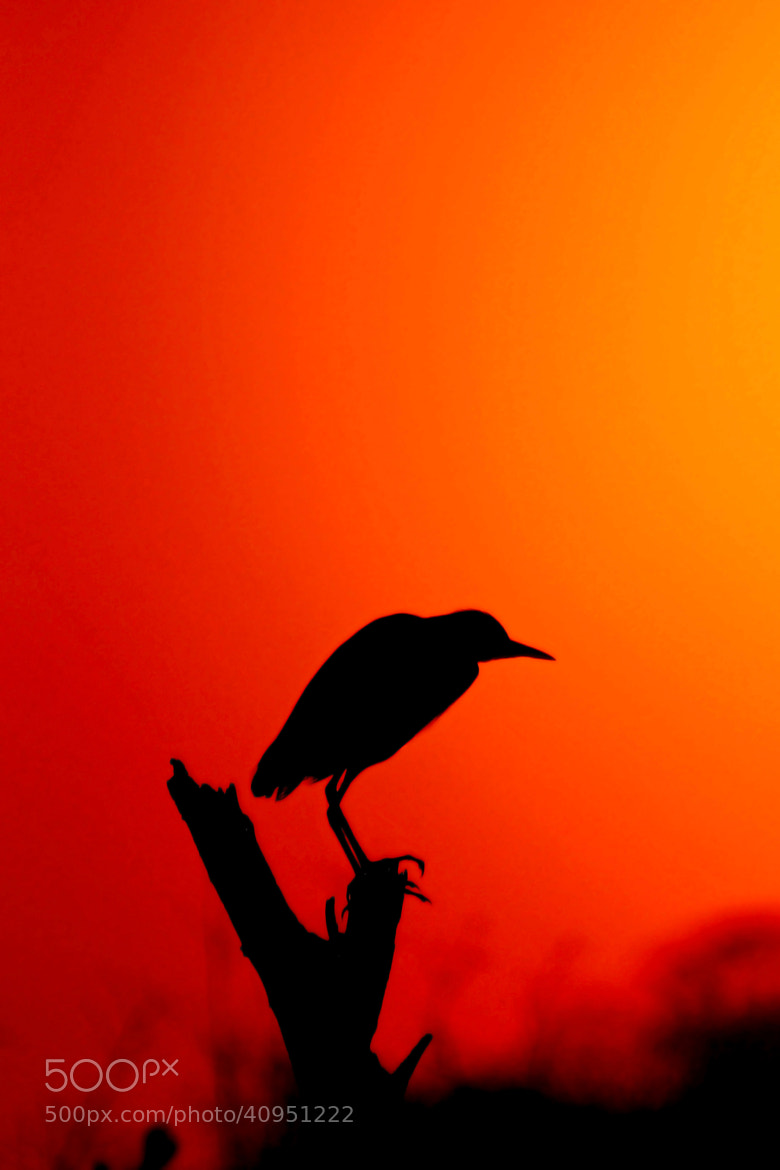 Photograph Sunset Egret by Rudi Hulshof on 500px