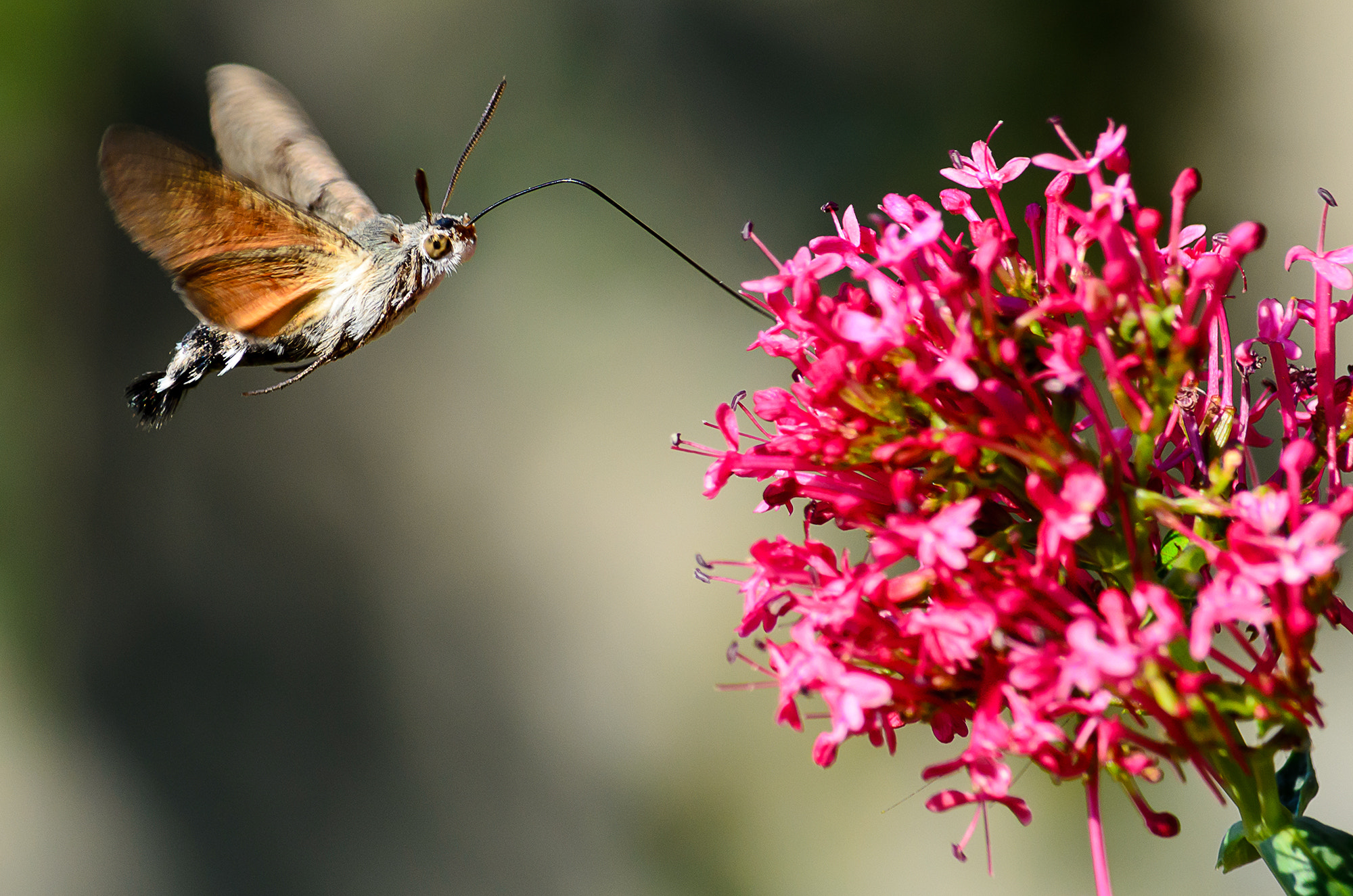 Photograph Hummingbird Hawk-moth by Kristhian Mason on 500px