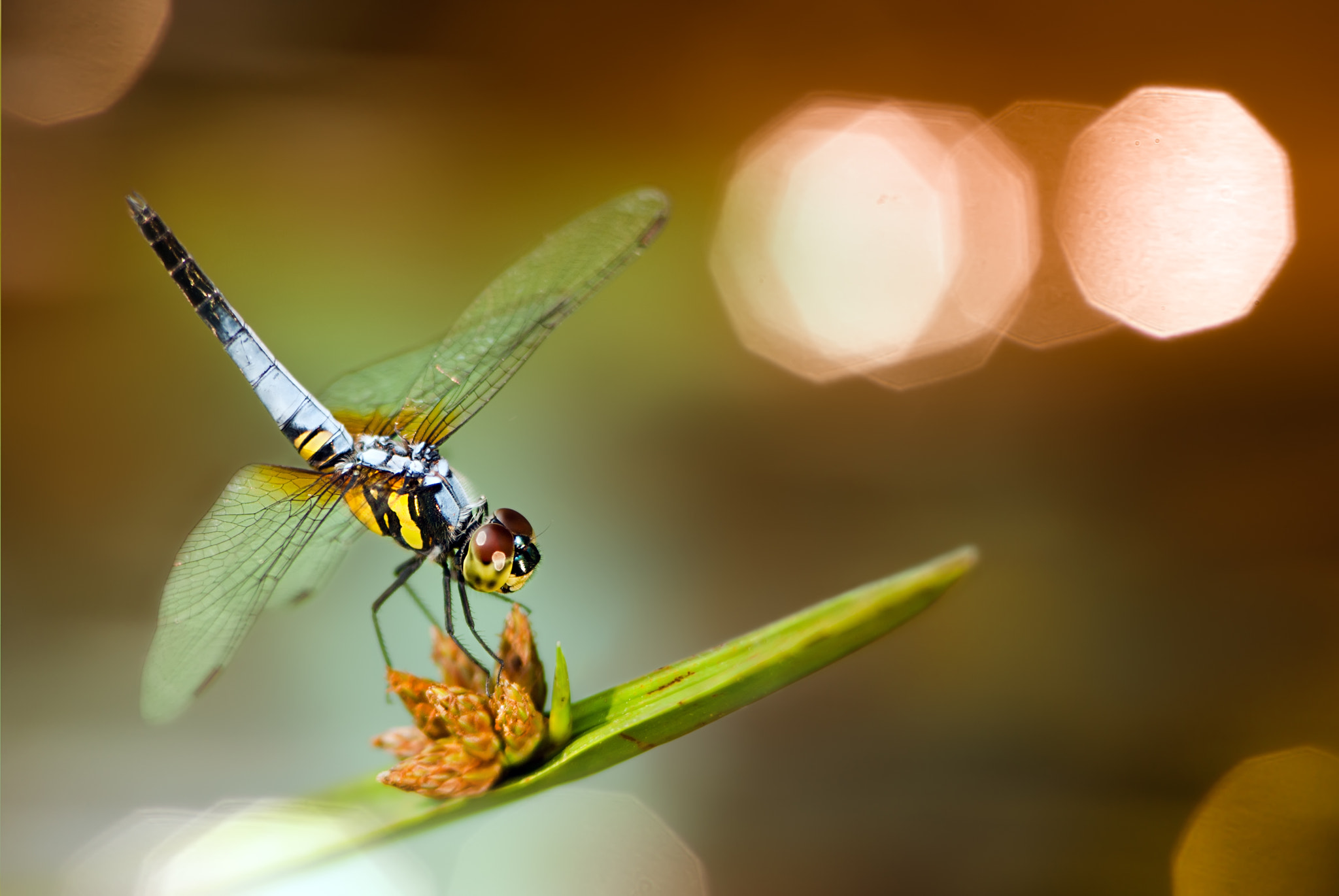 Photograph Dragonfly by FuYi Chen on 500px