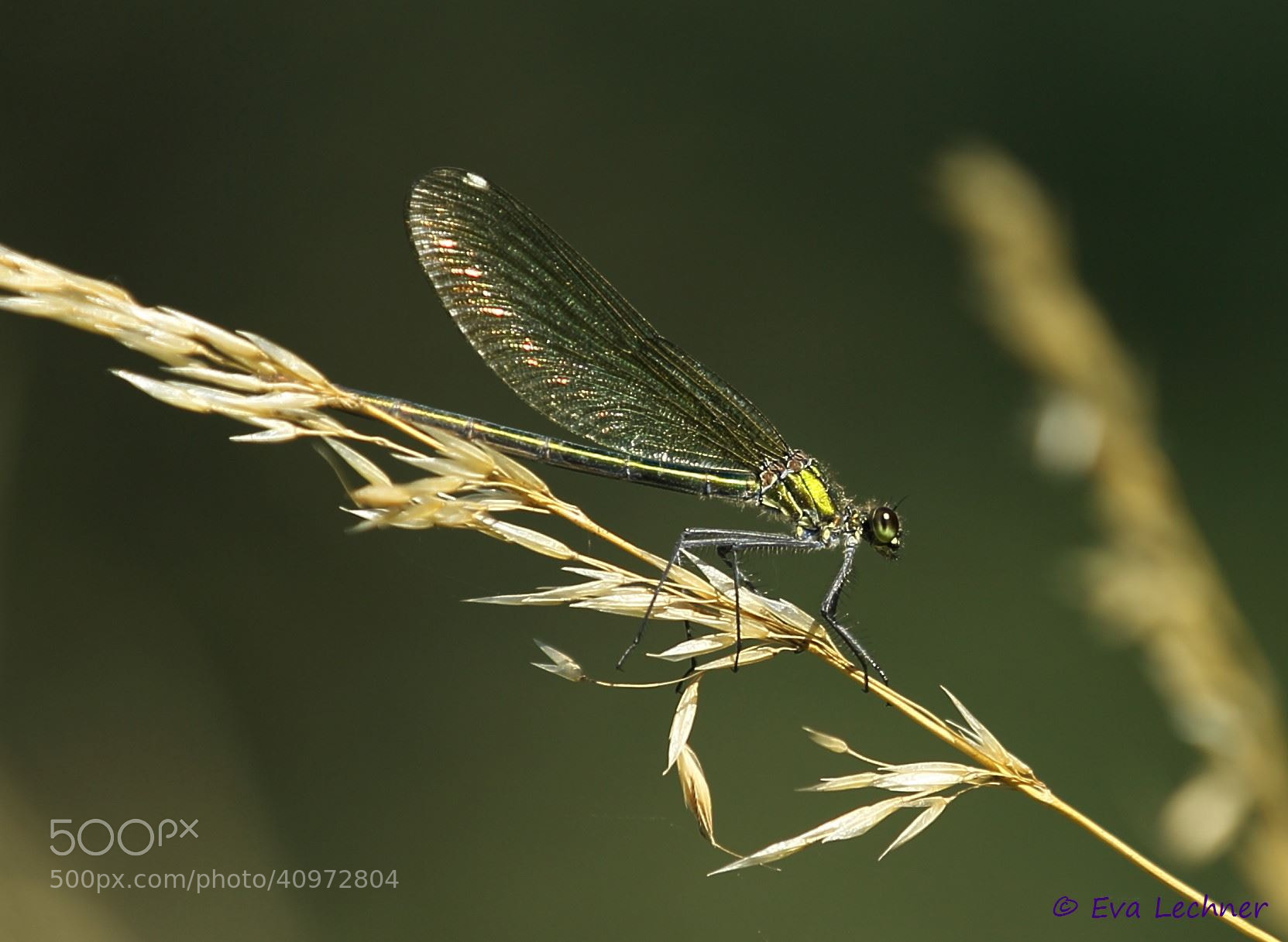 Photograph Banded Demoiselle Female by Eva Lechner on 500px