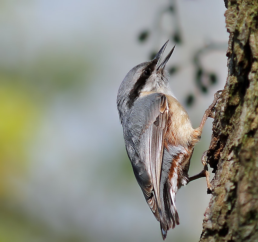Photograph Nuthatch by Svend Erik Nørgaard on 500px