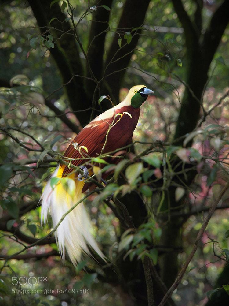 Photograph bird of paradise by Irawan Subingar on 500px