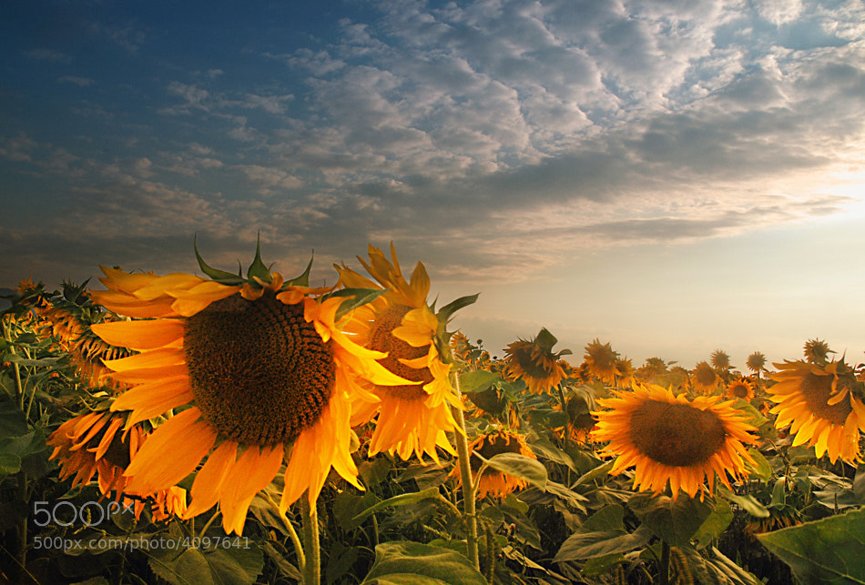 Photograph Sunflowers by Silvia S. on 500px