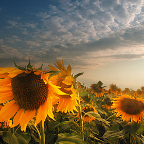 Sunflowers by Silvia S. (SilviaSil)) on 500px.com