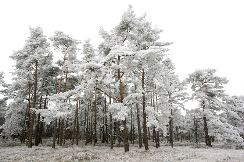 Photograph Hoar frosted pine trees by Ron van Elst on 500px