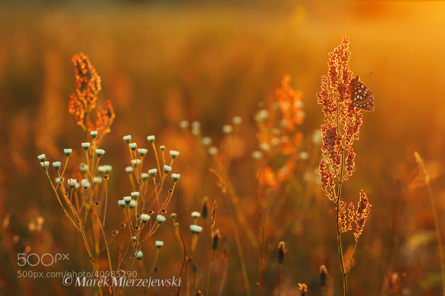 Photograph Sunset over summer meadow by Marek Mierzejewski www.butterfly-photos.org on 500px