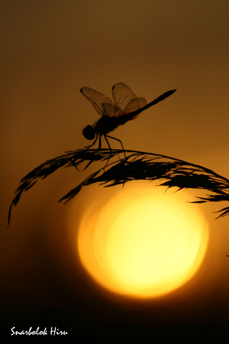 Photograph Dragonfly at sunset by Tanit Colobrans on 500px