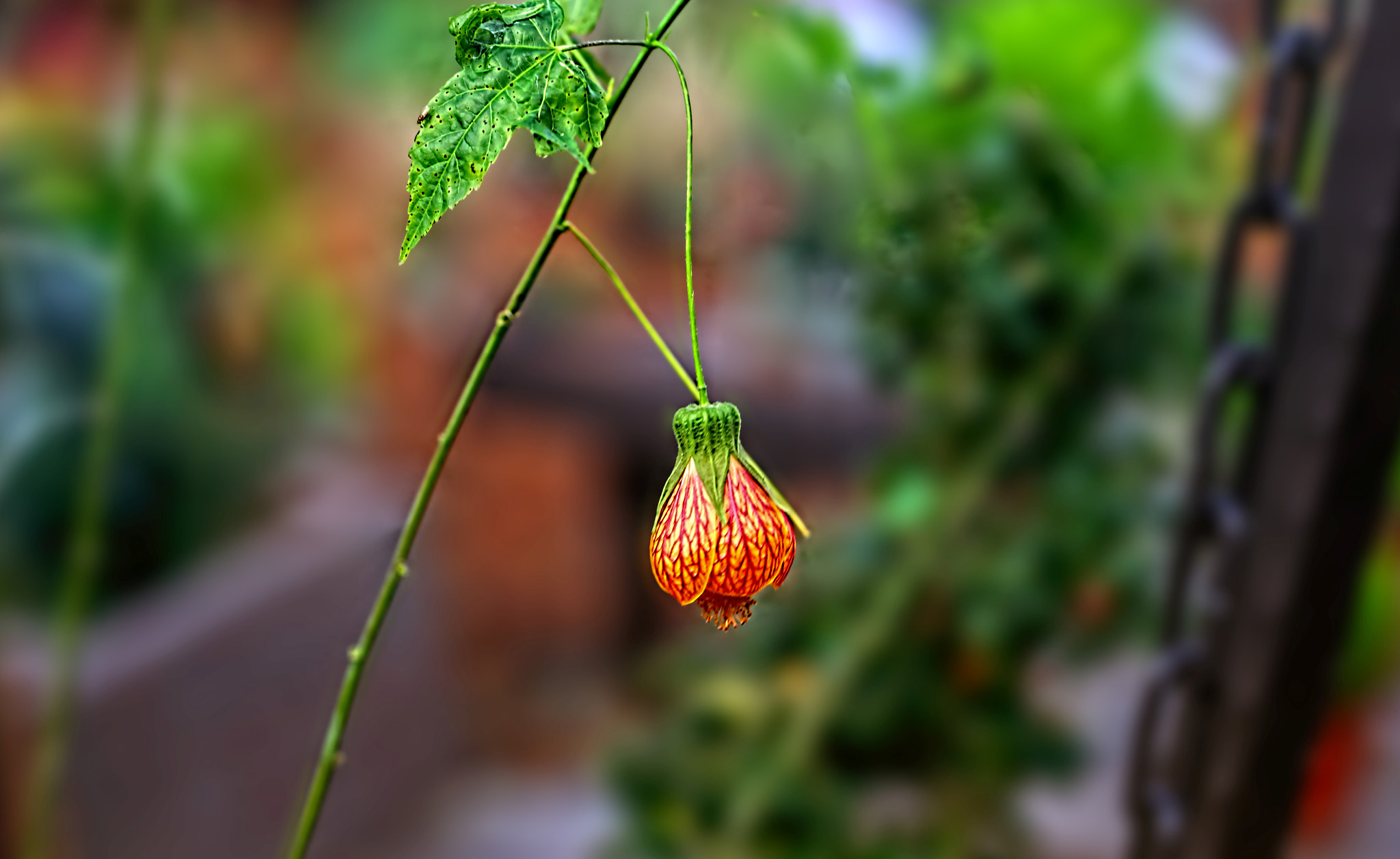 Photograph Chinese Bell Flower by William Roberts on 500px