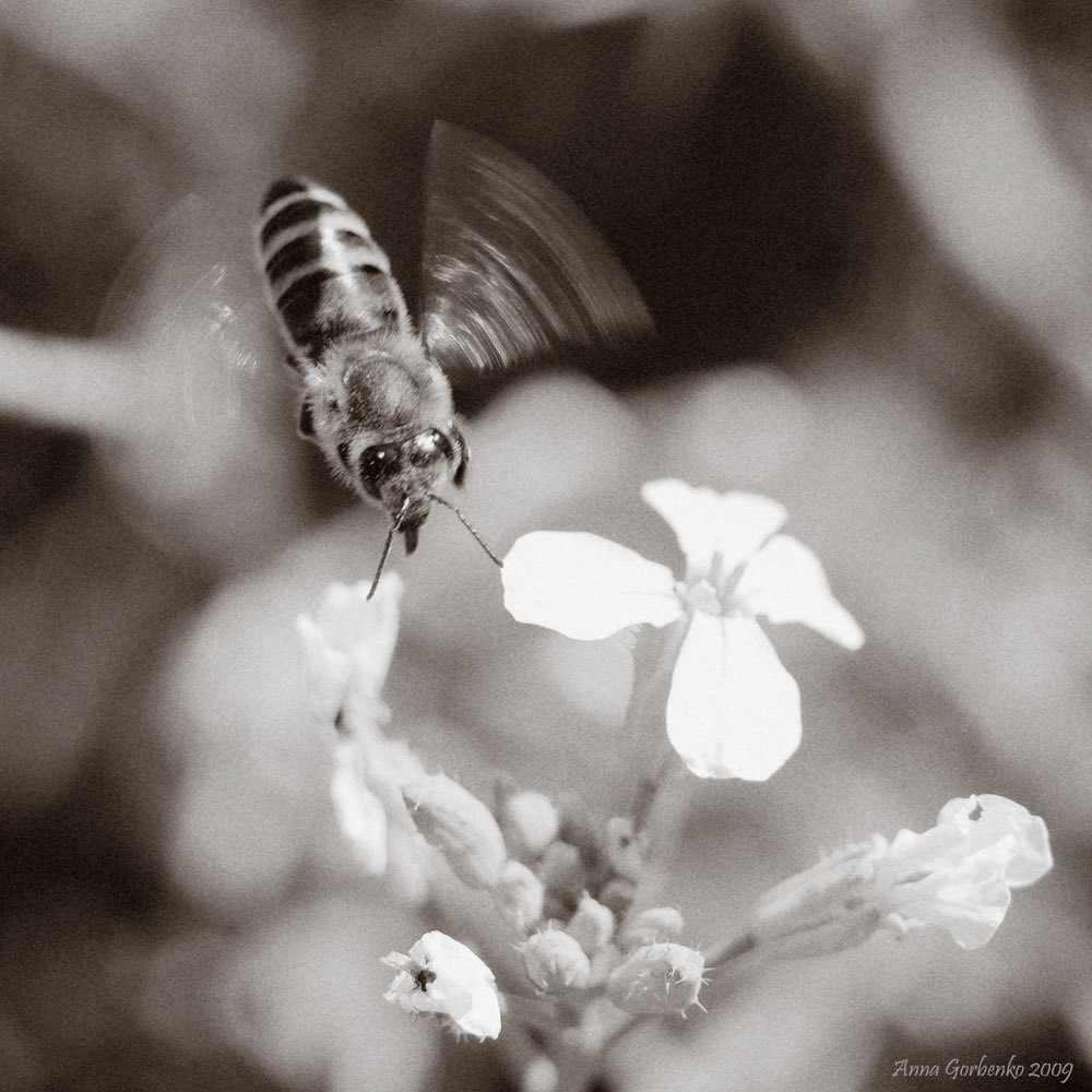 Photograph a flying bee by Anna Gorbenko on 500px