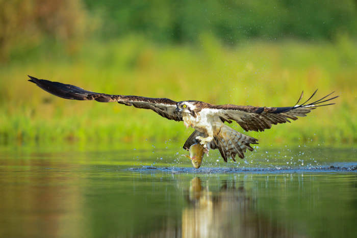 Photograph Osprey with a fish by Seb Loram on 500px