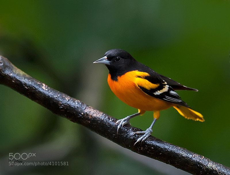 This baltimore oriole was photgraphed in  the forests of Costa Rica.  The splash of color caught me eye and fortunately he waited around long enough for me to capture a couple of images before flying off again.
