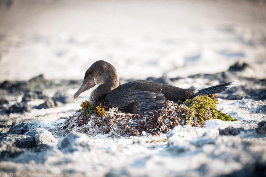Flightless cormorant on the nest