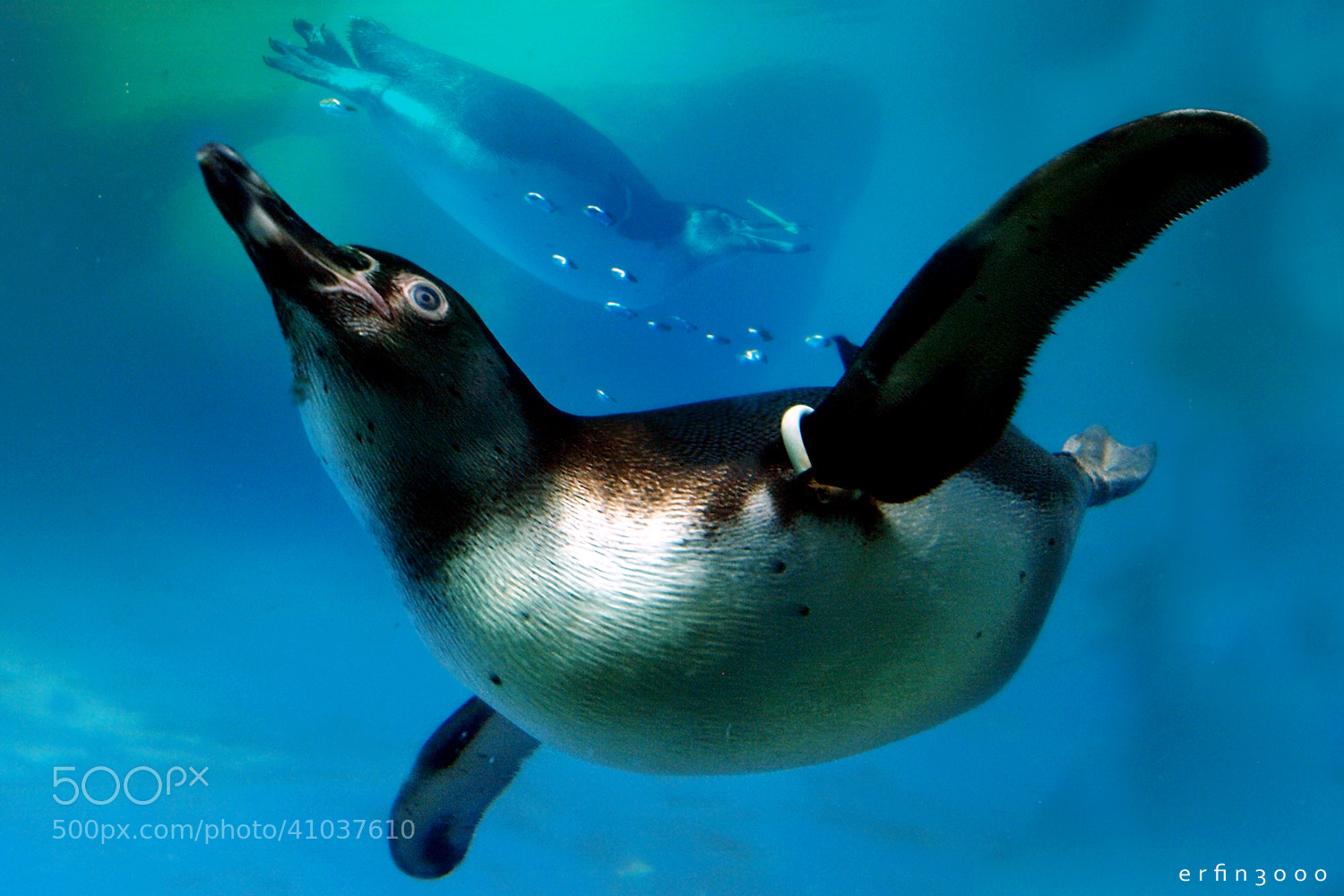 Photograph Humboldt Penguin by Erfin Nugroho A.K.A erfin3000 on 500px