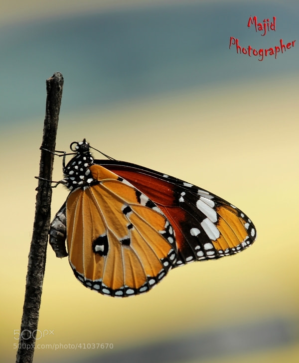 Photograph a buterfly by majid mohammed on 500px
