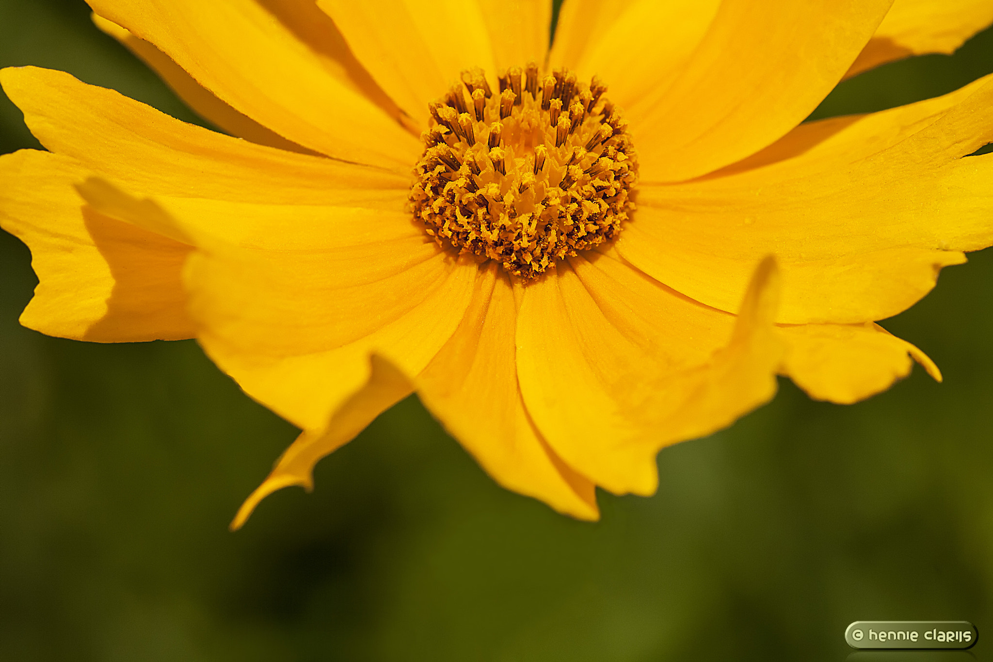 Photograph Coreopsis, Tickseed by Hennie Clarijs on 500px