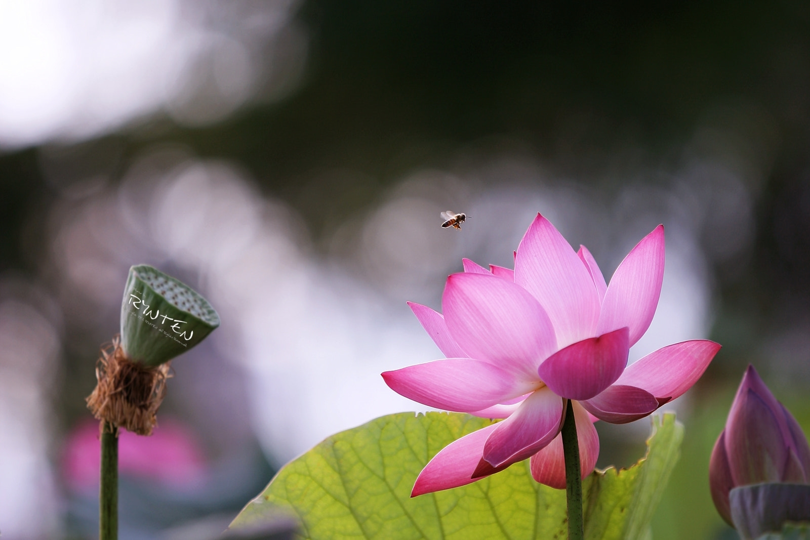 Photograph Lotus & Bee by RYNTEN  on 500px