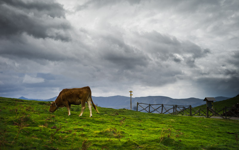 Photograph The cow by Josep Girona on 500px
