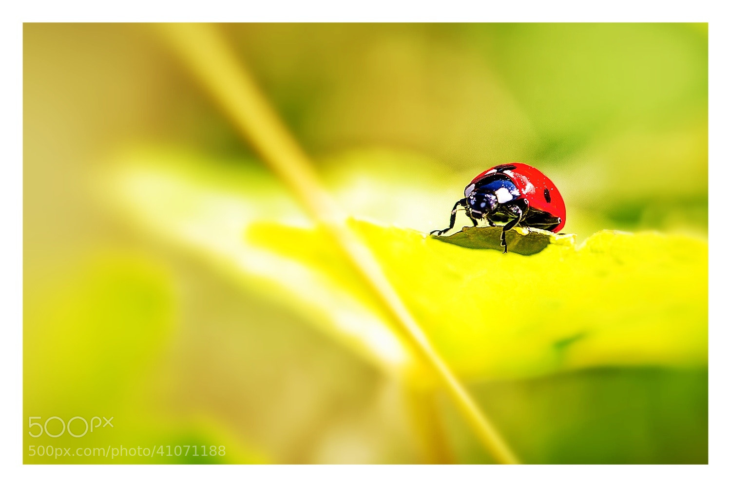 Photograph Ladybug by Johannes Sommer on 500px