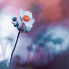 Flower of Anemone