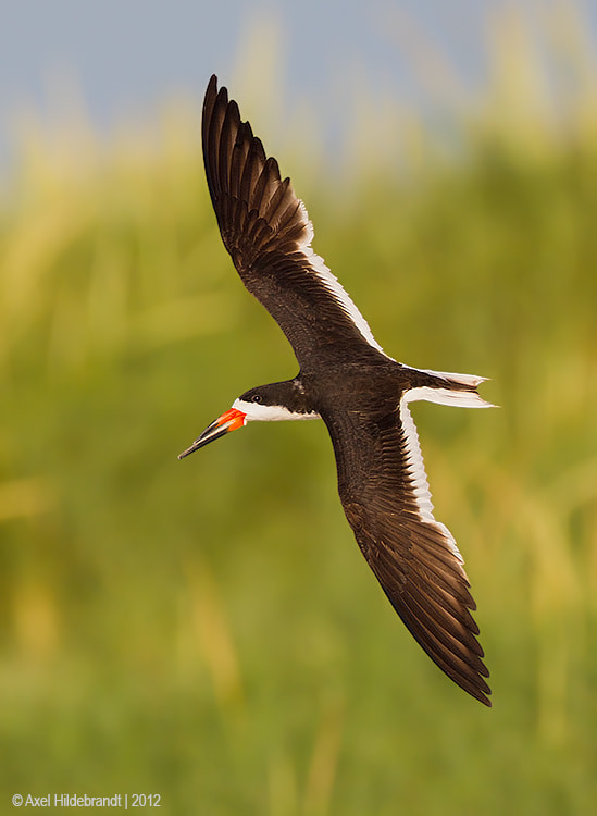 Photograph Banking Black Skimmer by Axel Hildebrandt on 500px