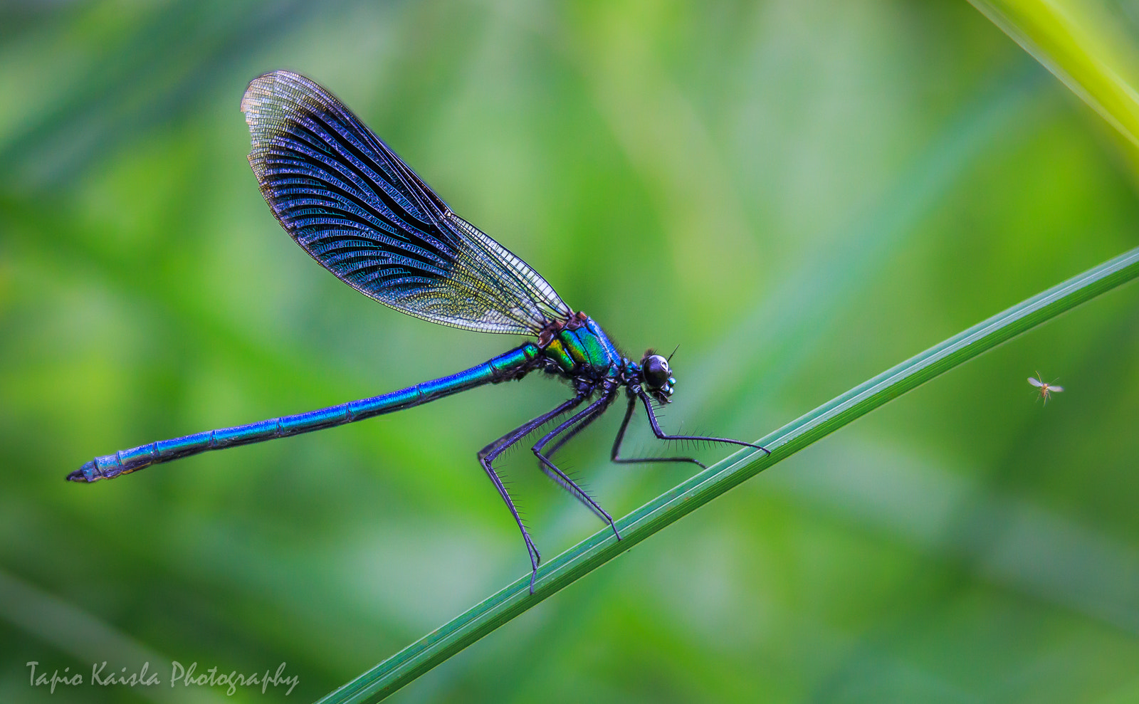 Photograph Banded Demoiselle by Tapio Kaisla on 500px