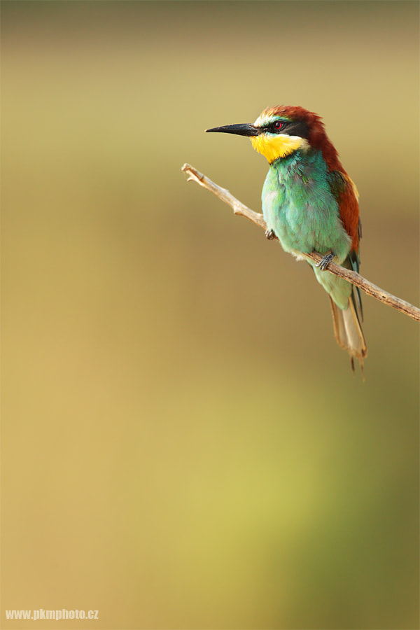 Photograph Bee eater II. by Peter Krejzl on 500px