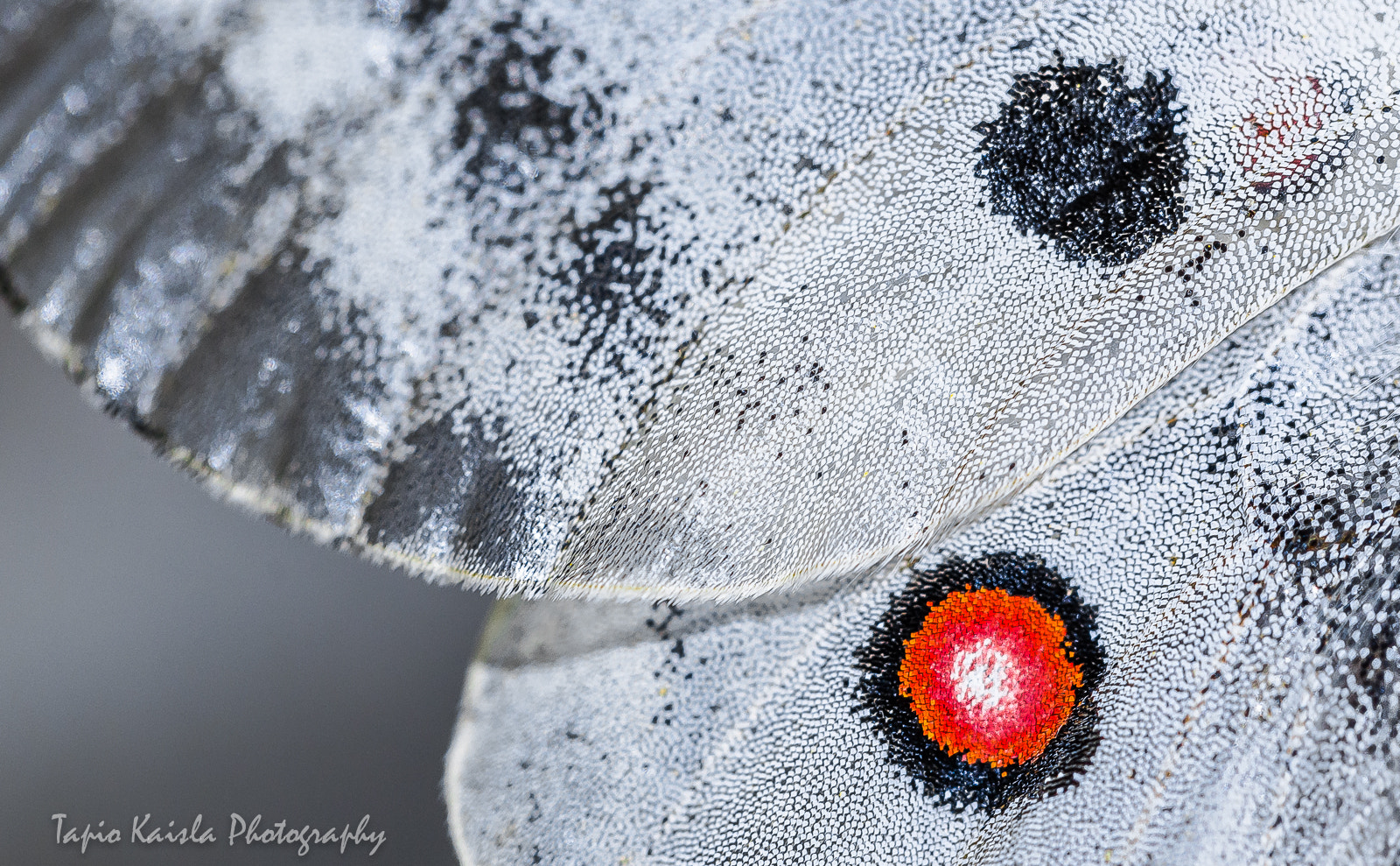 Photograph Red eye of an Apollo butterfly by Tapio Kaisla on 500px