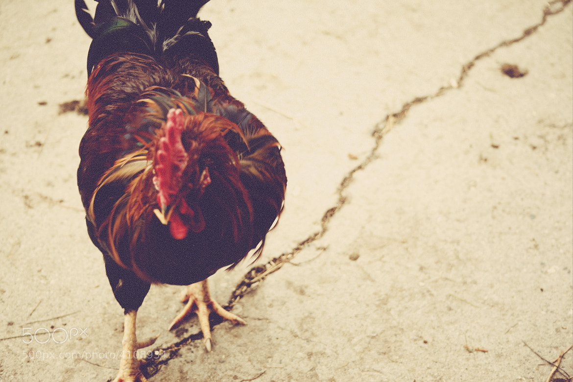Photograph Cock by Zack McTee on 500px
